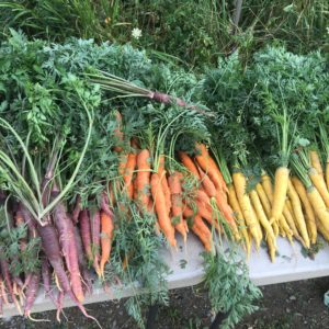 Carrots for CSA