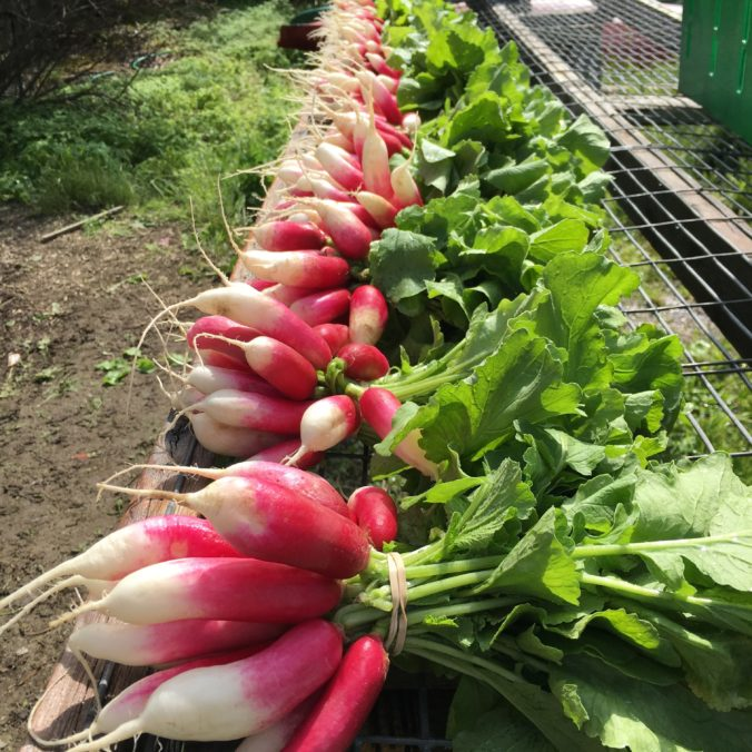 Radishes for Portland Delivery CSA